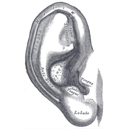 Die Anatomie der Ohrmuschel.